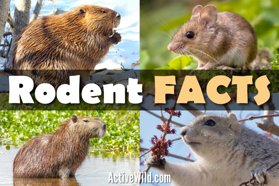 Rodent Facts