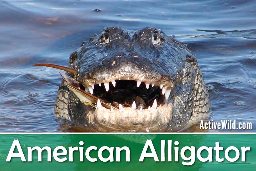 American Alligator Facts