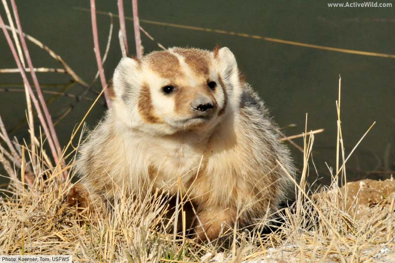 American badger by river