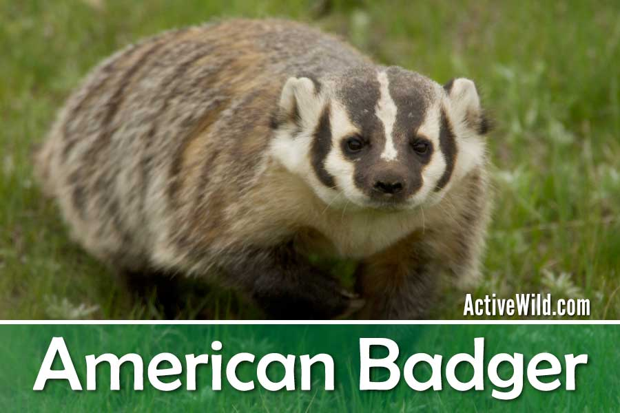 American badger facts