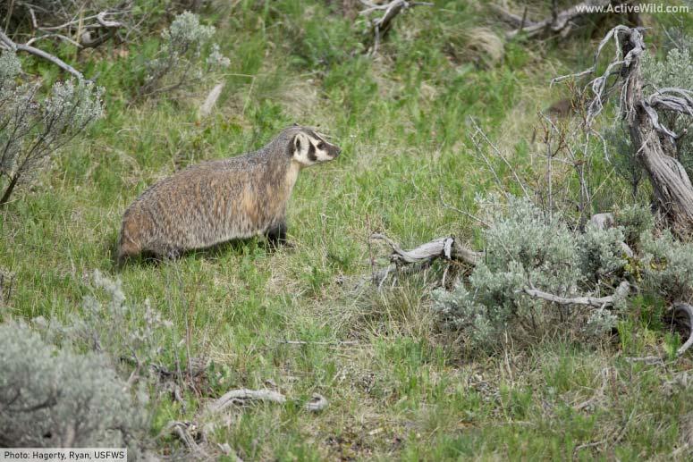 American badger hunting