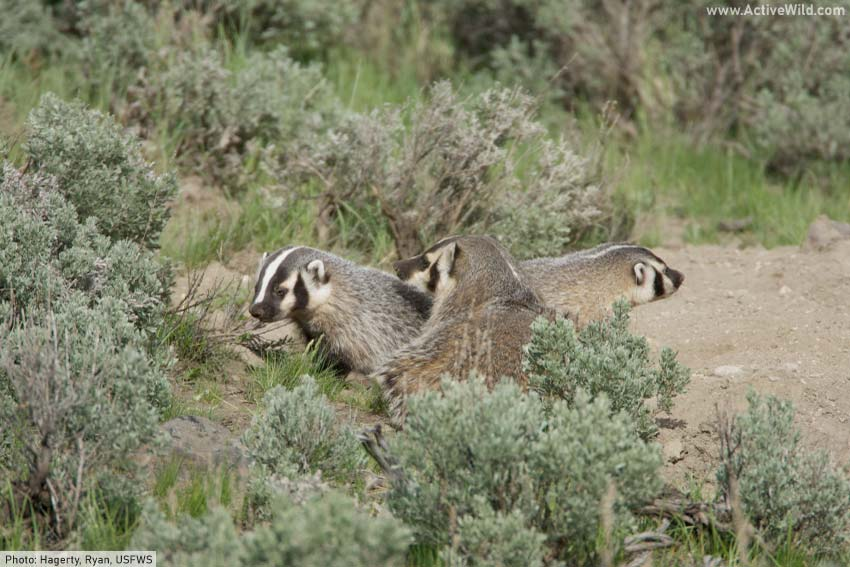 American badger mother with kits
