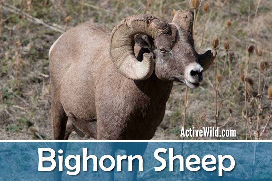Bighorn Sheep Facts
