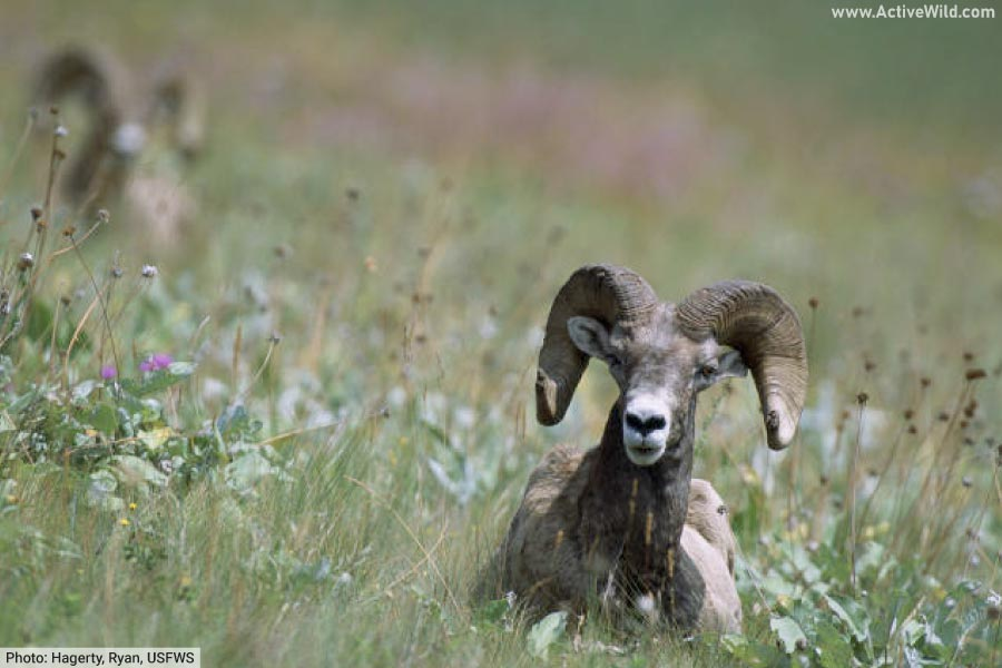 Bighorn sheep at the National Bison Range