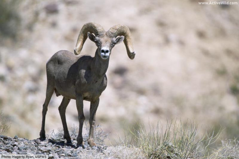 Male bighorn sheep