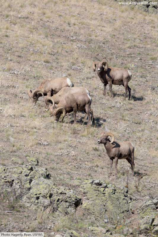 herd of male bighorn sheep on hillside