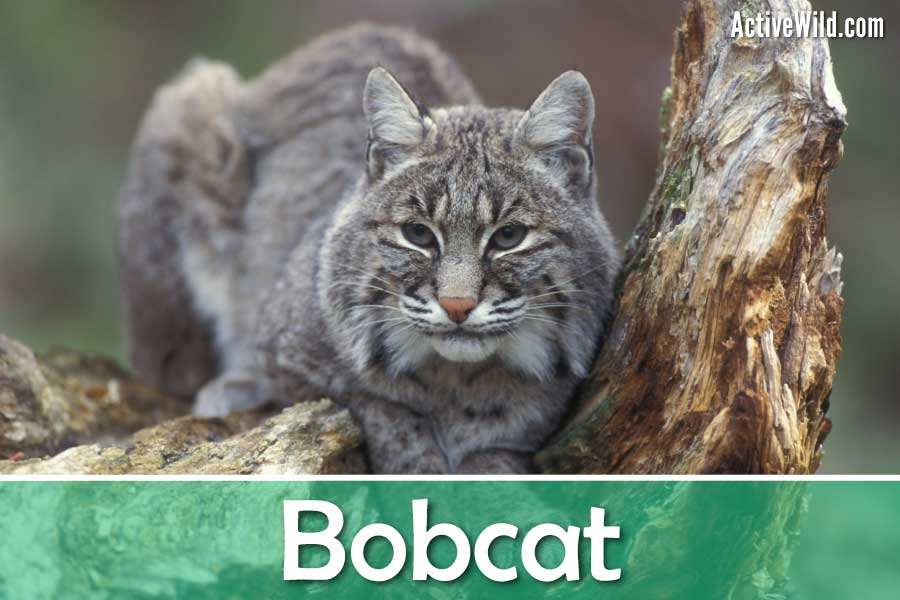 Bobcat North American Animal