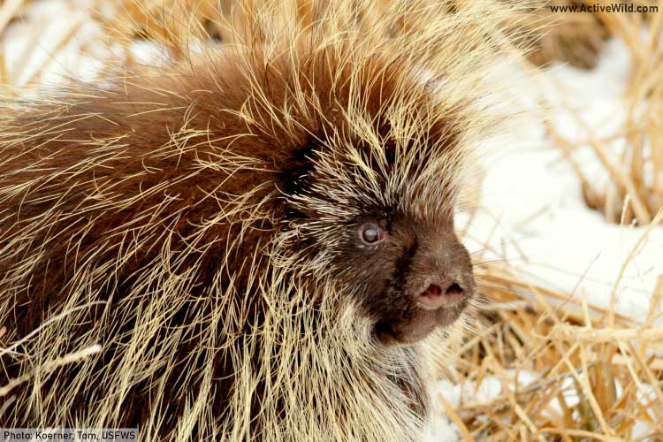 North American Porcupine Face Close Up
