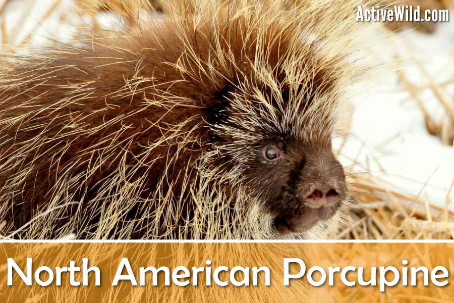 north american porcupine facts