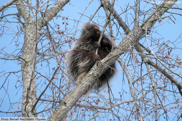 North American porcupine up a tree