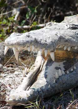 animal of the week: american crocodile