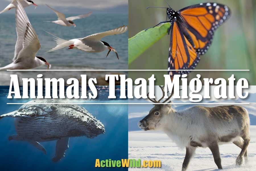 Animals That Migrate
