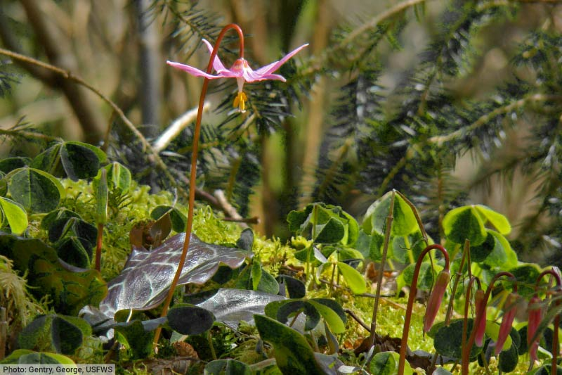 Fawn Lily Wild Flower In Temperate Rainforest