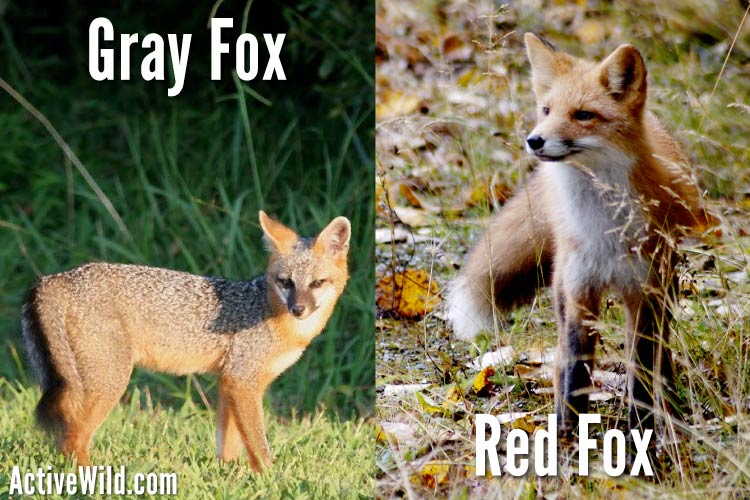 Gray Fox Vs Red Fox