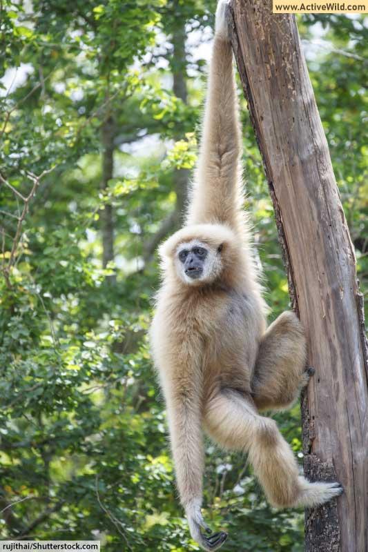 Primate white handed gibbon