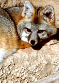 animal of the week gray fox