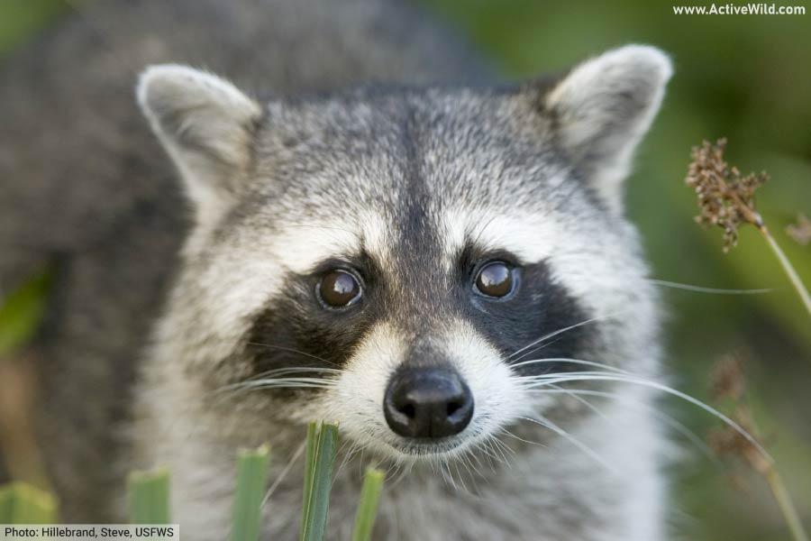 raccoon face close up