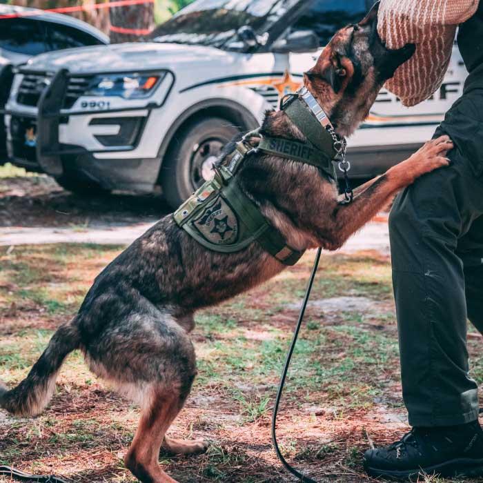 Belgian Malinois Police Dog Training