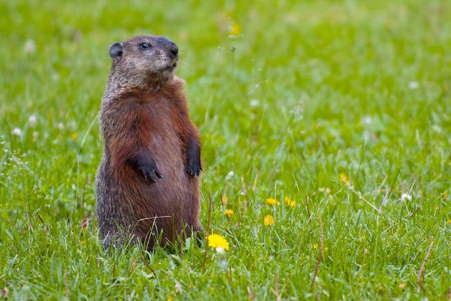 Groundhog standing on hind legs looking alert