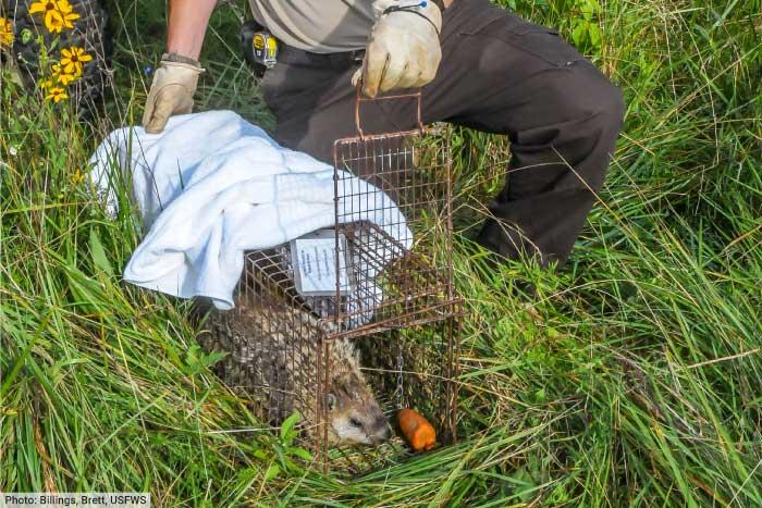 Groundhog being released