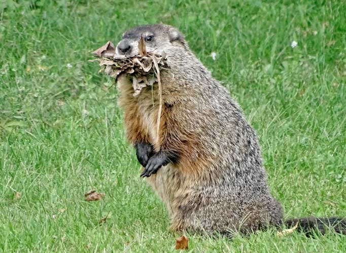 Groundhog carrying leaves in its mouth