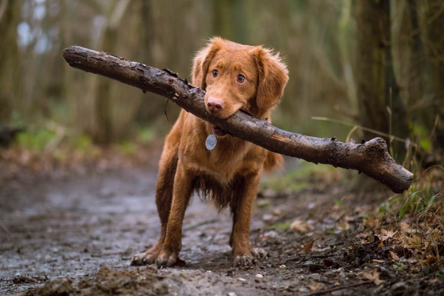 Young Dog With Big Stick