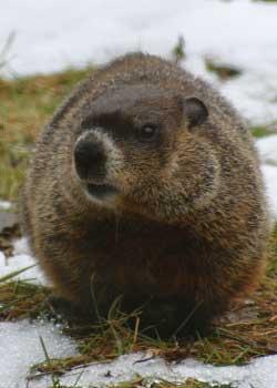 aotw-groundhog