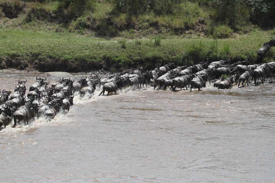blue wildebeest crossing river
