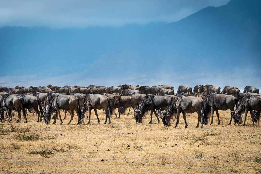 blue wildebeest migrating