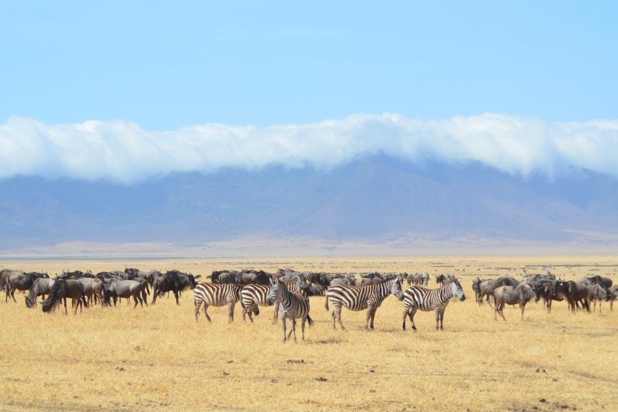 zebra and wildebeest mixed herd