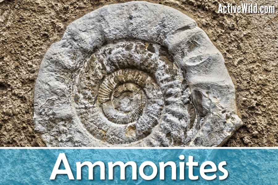 Ammonite Animal Facts