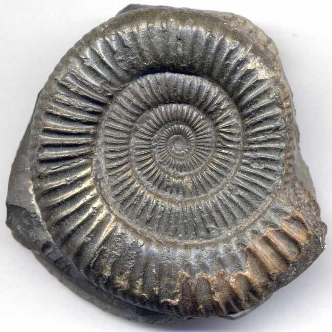 Dactylioceras commune Ammonite