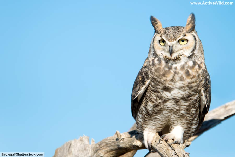 Great Horned Owl In Daylight