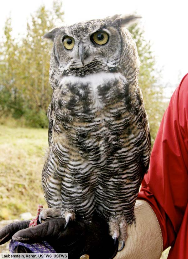 Great Horned Owl On Arm