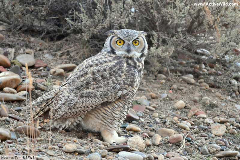 Great Horned Owl On Ground