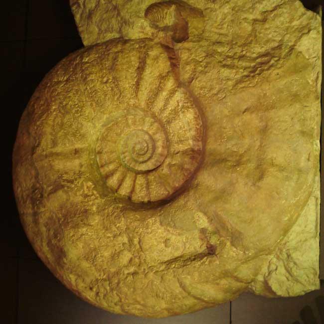 Ammonite of genus Parapuzosia