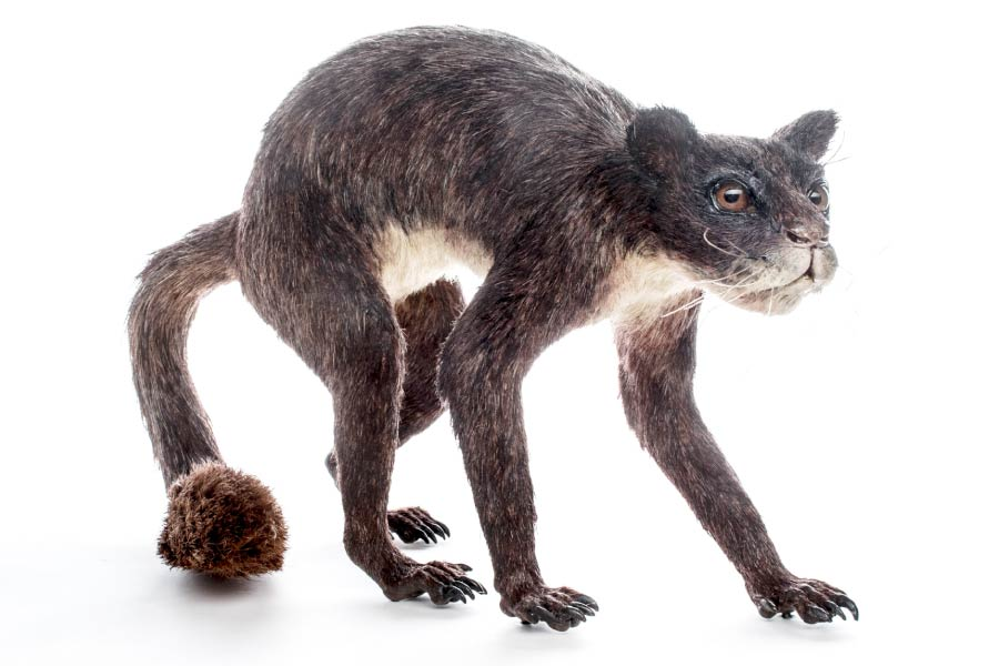 Plesiadapis, an early primate