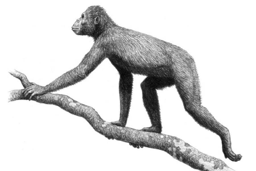 Proconsul africanus, an early ape