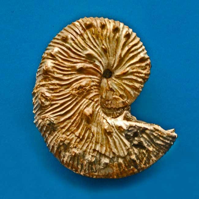 Ammonite of genus Scaphites