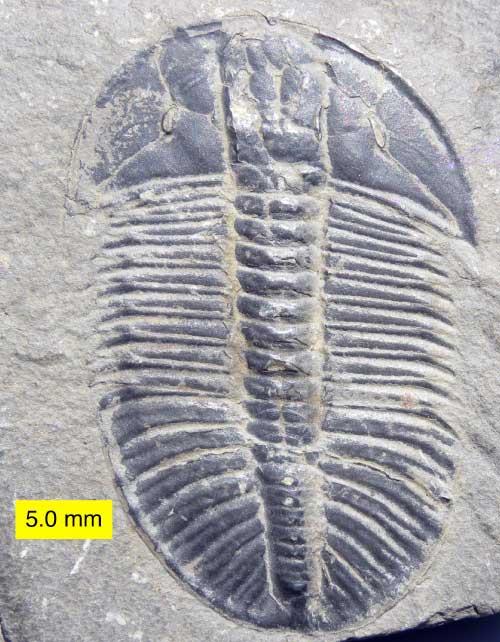 Trilobite genus Olenoides