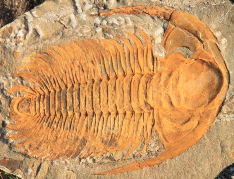 Trilobite genus Paradoxides