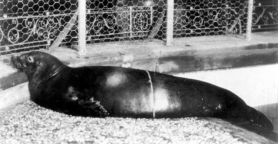Caribbean Monk Seal Recently Extinct Animal