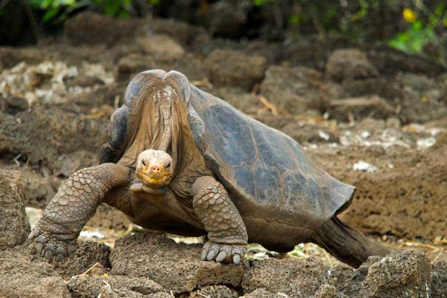 Pinta Island Tortoise Lonesome George