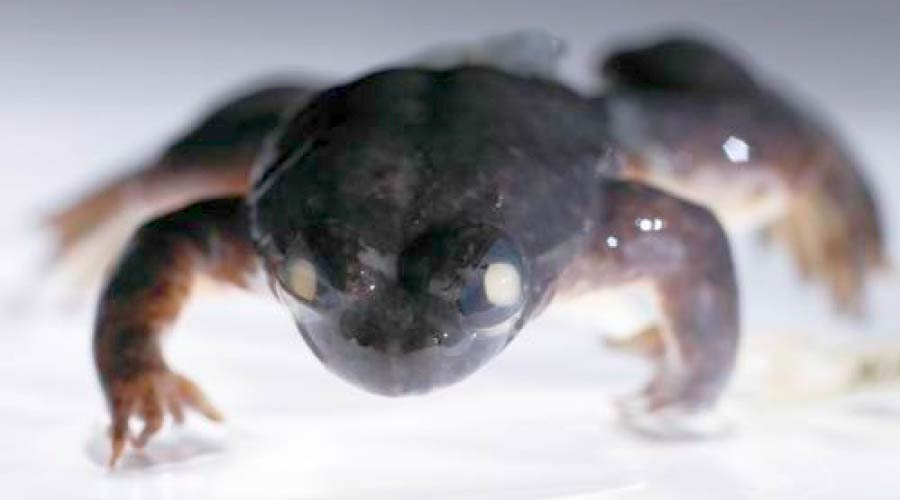 Southern Gastric Brooding Frog