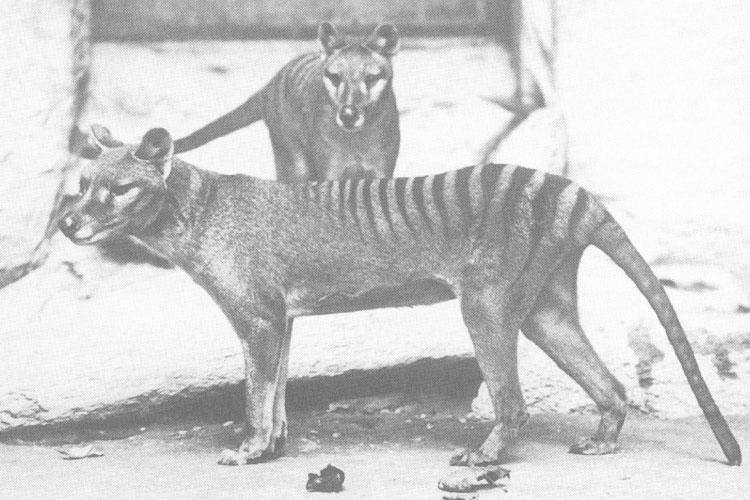 Thylacine Extinct Animal
