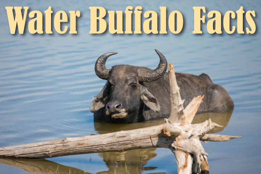 Water Buffalo Facts