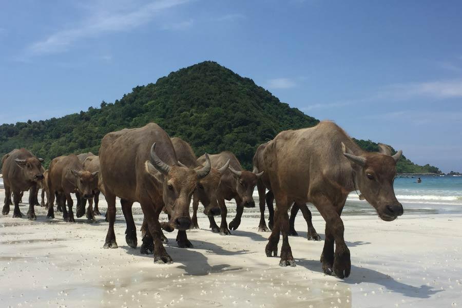 Water Buffalo Herd On Beach In Indonesia
