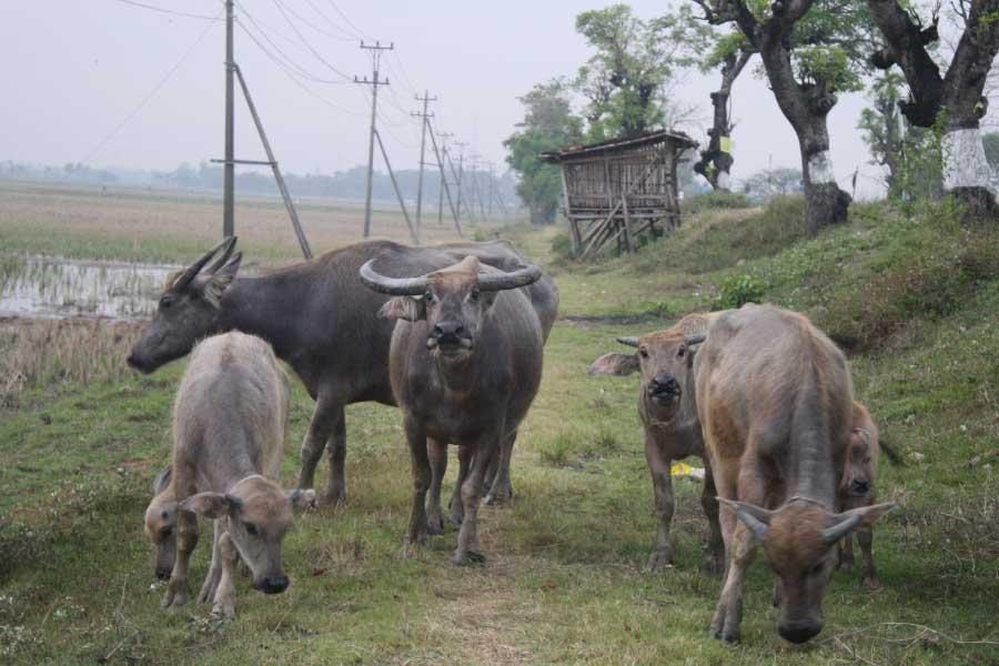Water buffaloes in Indonesia