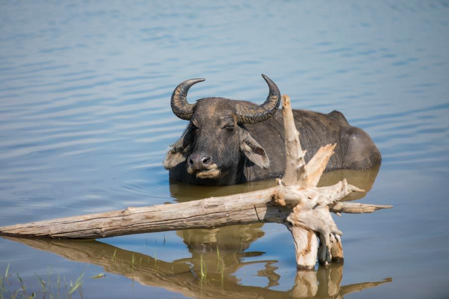 water buffalo in water