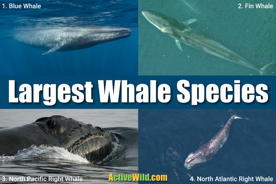 Largest Whale Species